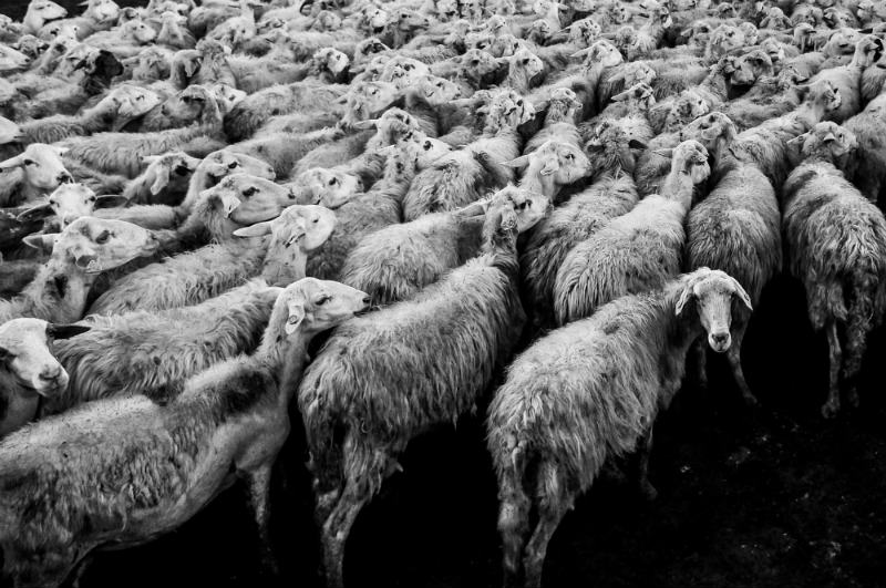 Klonowanie zwierząt