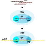 Zjawisko interferencji RNA u zwierząt i ludzi
